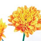 files/blumen/chrysantheme.jpg